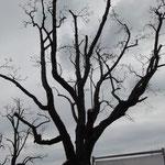 Starker Rückschnitt um gefährdete Bäume zu retten. Oberdorferstraße im April 2012 (Foto: NABU Langenargen)