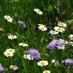 Wiesenmargarite und Wiesen-Witwenblume (Weinreich 2014)