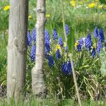 Traubenhyazinthe sind typische Pflanzen in Streuobstwiesen im April 2011(Foto: NABU Langenargen)