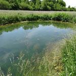 Der künstliche Teich bereichert die Insektenwelt in Herrenreute vor allem durch Libellen. (Weinreich 2014)