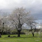 Kirschhochstämme am Blindenrain im April 2012 (Foto: NABU Langenargen)