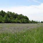 Blütenmeer v.a. der Wiesen-Witwenblume (Weinreich 2014)