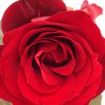 Le rose di Diana (Zala-Sciarmella)