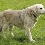 Cumbria mit 16 Jahren mit einem langen Hundeleben auf dem Buckel