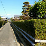 安芸市の土居土用竹の生垣 手の行き届いた美しい生垣です。