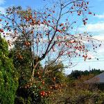 相馬山上地区の柿の木:この美しい柿の実からも放射能が出るのだろうか?