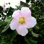 屋久島の白い花(名称不詳)