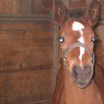 Aroc unser kleiner Hengst geboren: 2008 sein Vater ist: Aquilino MV: Cashman