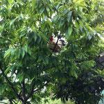 そこからまた思い立ったかのように栗の木へジャンプ