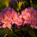 Der Rhododedron blüht in voller Pracht.