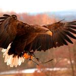 Der Seeadler bereitet seine Landung vor.