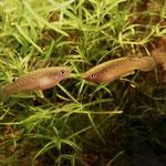 Tüpfelhechtling (Pachypanchax playfairi), links Weibchen, rechts Männchen