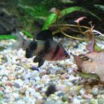 Purpurkopfbarbe halbwüchsiges Männchen
