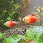 Roter von Rio, Zuchtform, Männchen links, Weibchen rechts