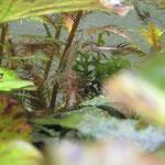 Amanogarnele Weibchen