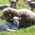 Pecora (lana)