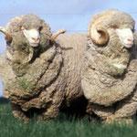 Pecora (lana Merinos)