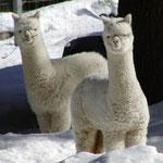 Alpaca (lana Alpaca)