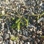 Nachsaat der Sedumsprossen