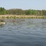 Nisthilfen für Trauerseeschwalben im Parsteiner See