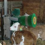 Kälberbürste im Kälberstall Buck