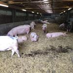 Schweinebürste Unterer Lindenhof der Uni Hohenheim