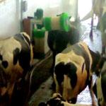 Größte Milchviehfarm der Welt in Saudi-Arabien hat SCHURR Kuhbürste im Einsatz
