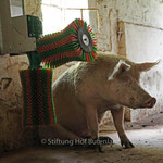 Glücksschwein in der Stiftung Hof Butenland