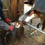 Klauenpflege bei Flechvieh-Betrieb Böttle