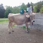 Braunviehkuh bürstet sich an Typ C12 in der Schweiz bei Kunde Albert Breitenmoser