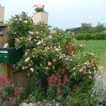 Bord de route : rosier Salet