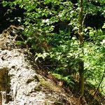 Aus diesem Wurzelballen wachsen eine Birke und zwei kleine Fichten - außerdem schlägt die Buche wieder aus: Überlebenskünstler Natur !