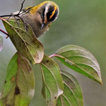 Sommergoldhähnchen (Regulus ignicapilla, Syn.: Regulus ignicapillus)