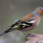 Buchfink  Männchen (Fringilla coelebs)