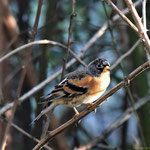 Bergfink Männchen im Winterkleid (Fringilla montifringilla)