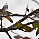 Wintergoldhähnchen (Regulus regulus)