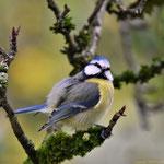 Blaumeise (Parus caereuleus)