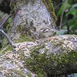 Buchfink (Weibchen).