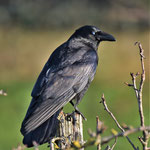 Rabenkrähe (Corvus corone )