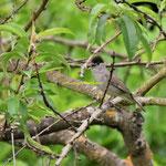 Mönchsgrasmücke (Männchen)