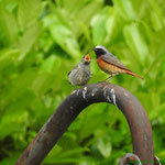 Gartenrotschwanz Altvogel mit Jungtier