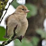 Buchfink Weibchen (Fringilla coelebs)