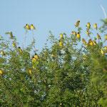 Kolonie mit Webervögeln