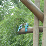 Malachit-Eisvogel