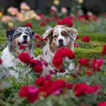 Im Bamberger Rosengarten