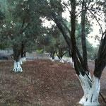 Unsere Olivenbäume