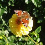 Blumenkind besucht Blume