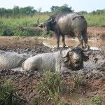 Wasserbüffel beim Schlammbad