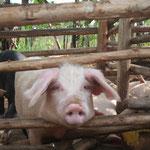 Miss Pigeldie, das erste 'Schulschwein'