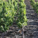 Schieferverwitterungsböden, in diesem Geröll wächst Wein!